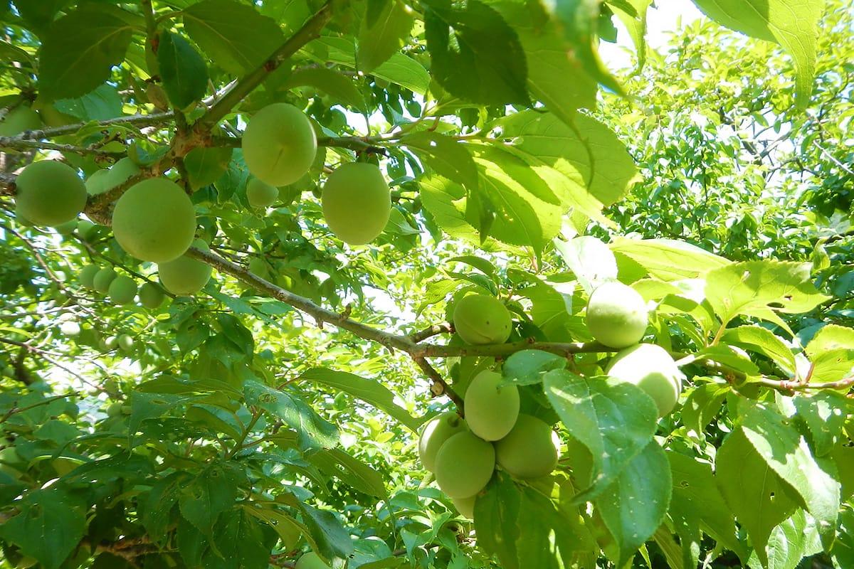 梅の実収穫体験