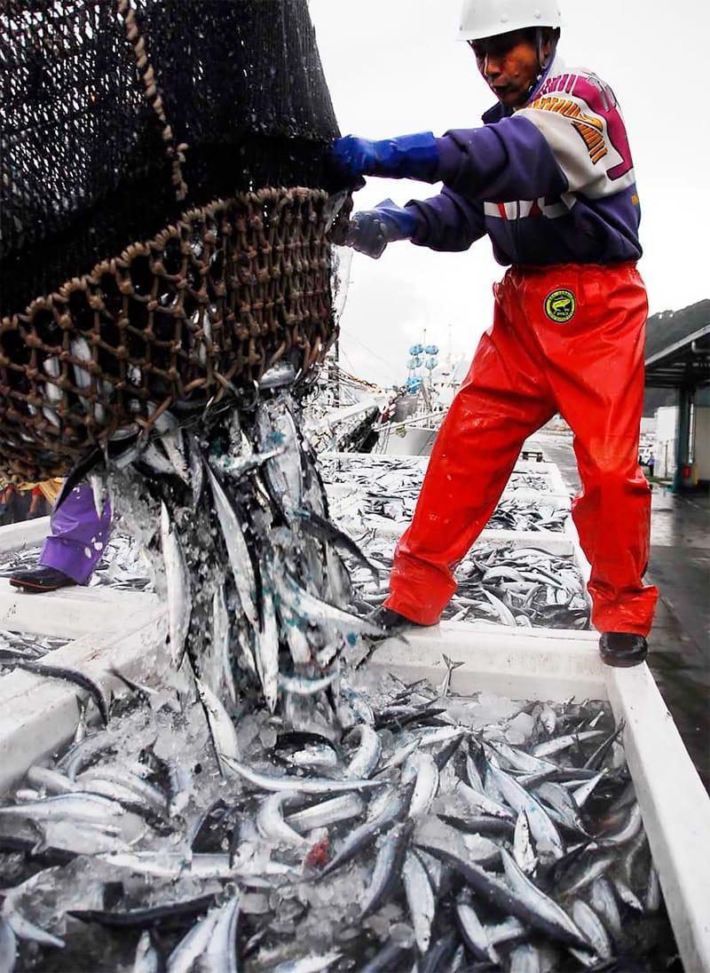釜石に初水揚げされたサンマ。銀りん躍るサンマに魚市場も活気づく=4日午前6時36分