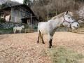 三陸駒舎に来た2頭の馬