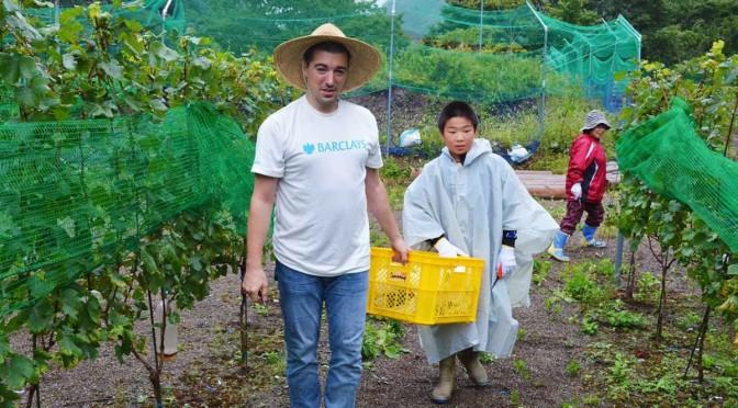 幅広い年代のボランティアがブドウの収穫=19日、あまほらファーム
