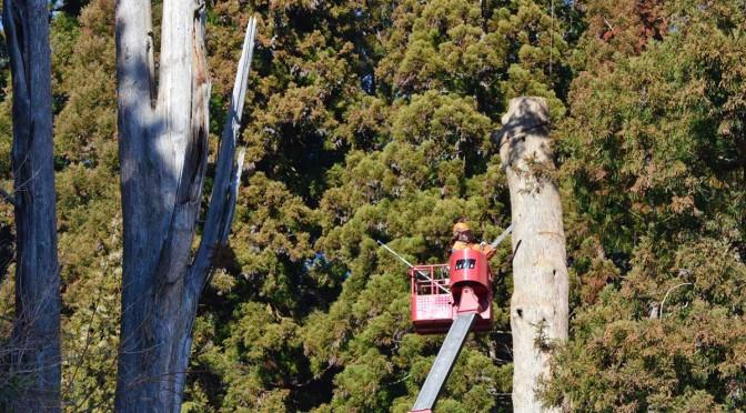 慎重に進められた伐採作業