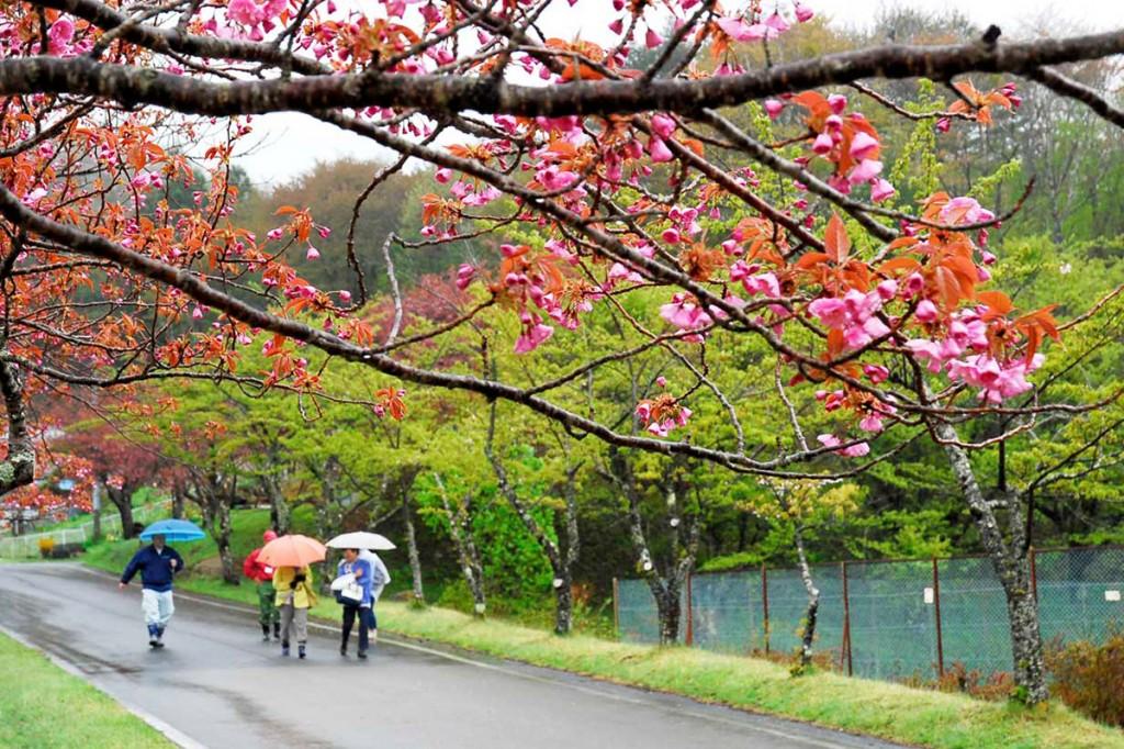 しっとりと雨に濡れ開花を待ちわびる八重桜の枝