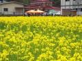 行き交う人の目を楽しませる鵜住居町の県道釜石遠野線沿いの菜の花