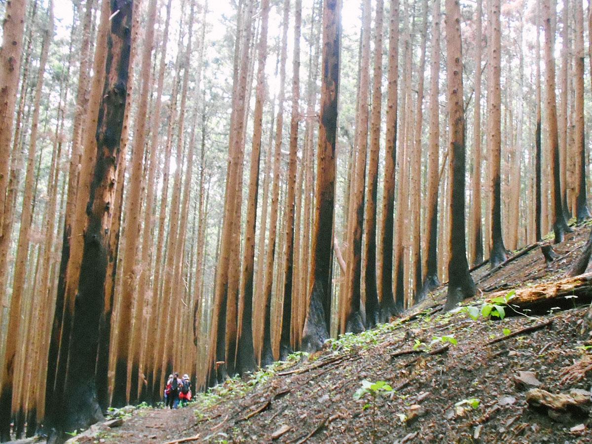 黒く炭化した杉の木