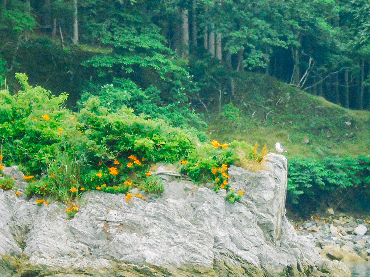 釜石の花「はまゆり」