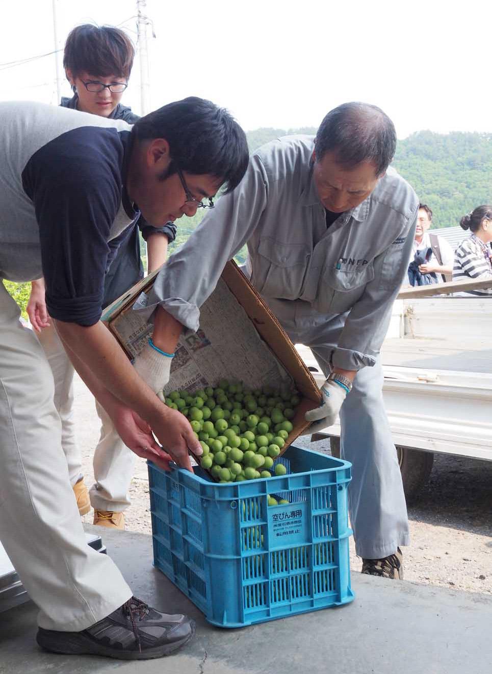 今季初の集荷会に収穫したウメの実を持ち込んだ生産者ら