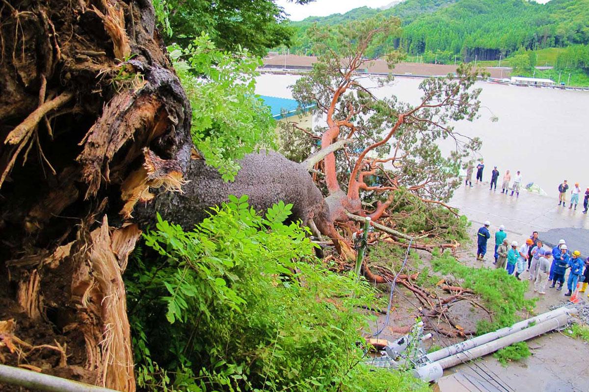 箱崎神社のアカマツの巨木が倒れ、停電と市道の通行止めを招いた=9日昼