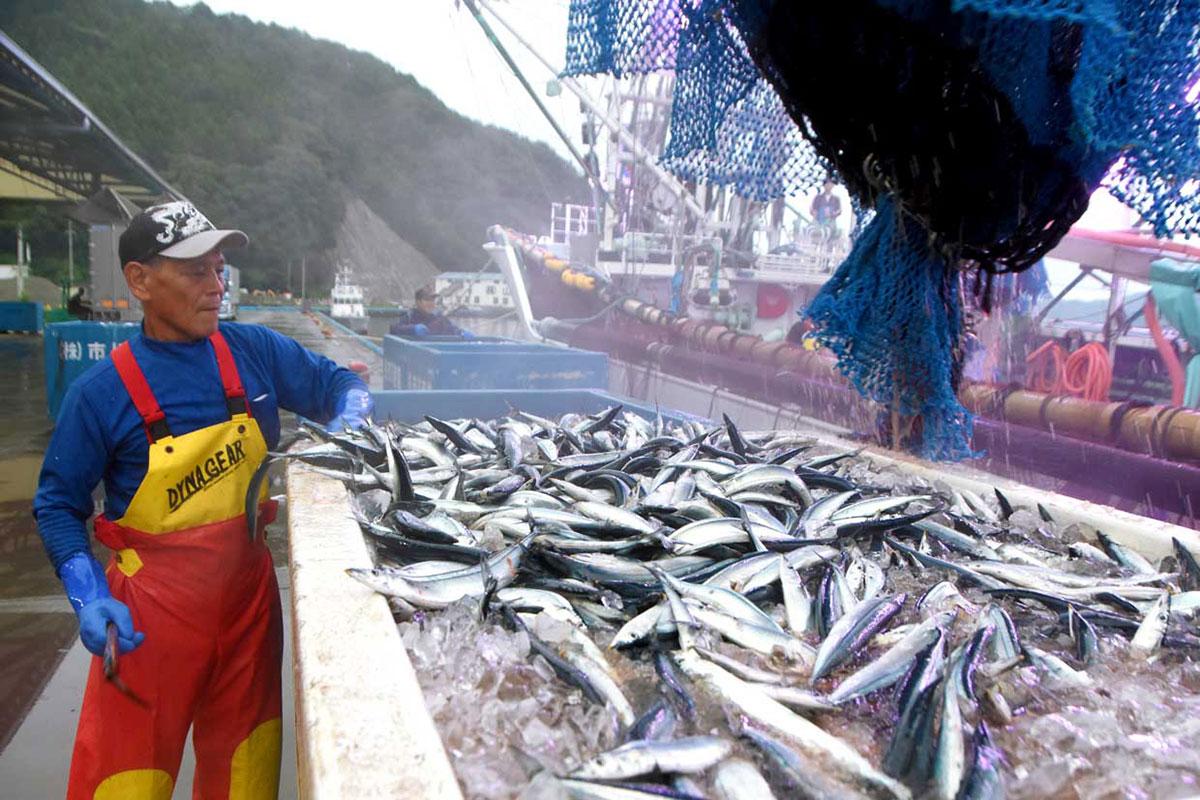釜石港に今季初水揚げされたサンマ=8月30日午前5時50分(写真説明)
