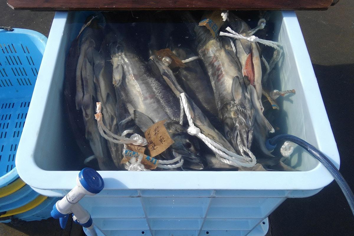 塩抜き中の新巻鮭