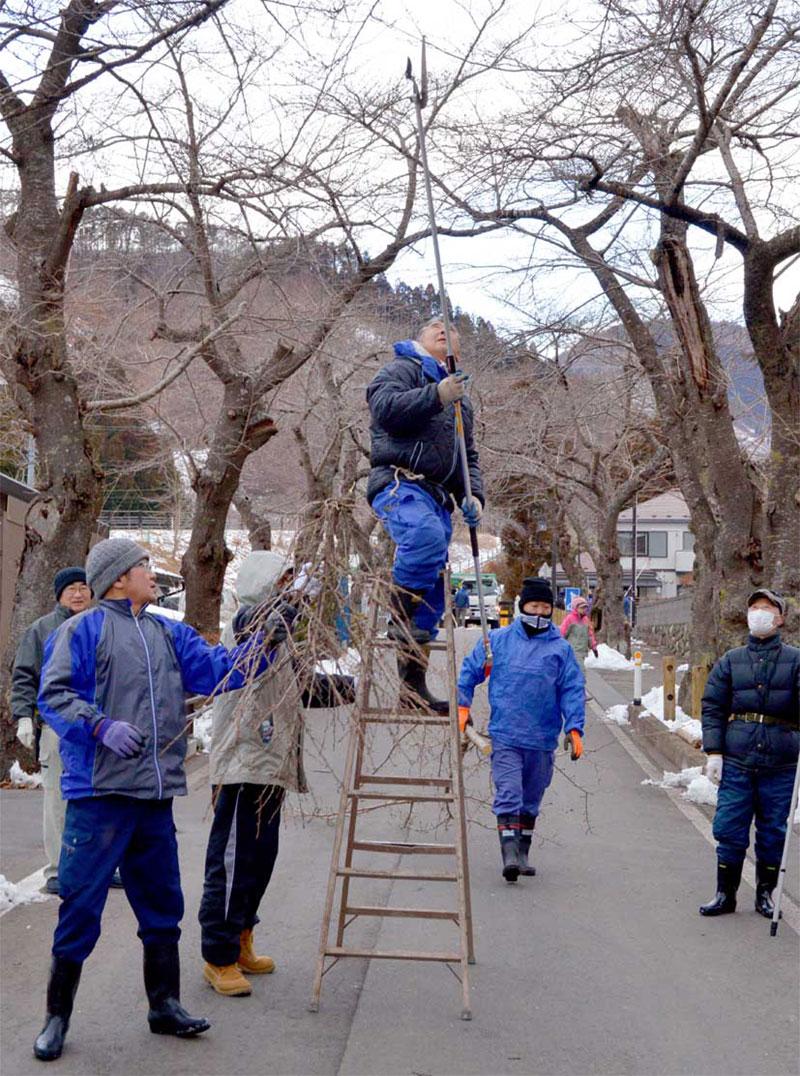 郷土の原風景の一つ「本郷の桜並木」の手入れに励む唐丹町住民ら