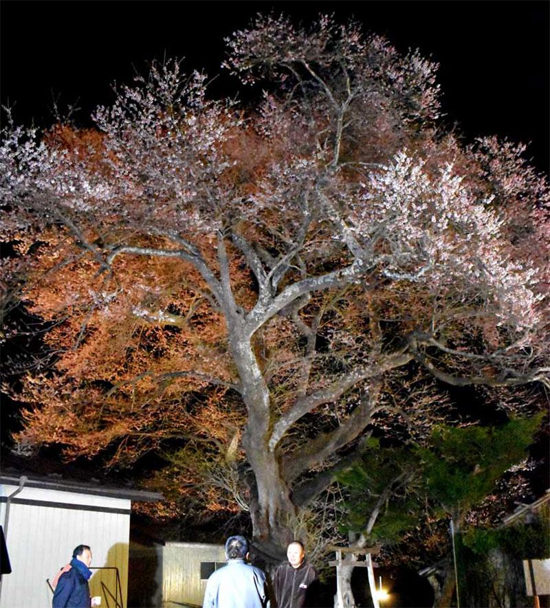 上栗林の桜