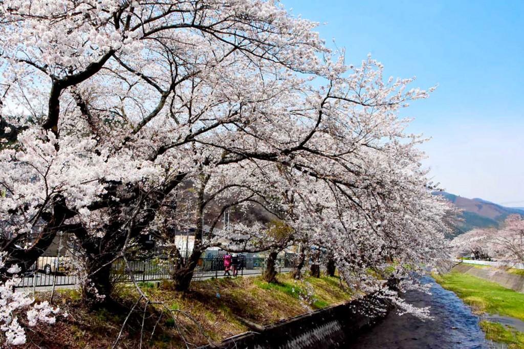満開となった小川川河畔の桜並木=11日、小川町の小川橋から撮影