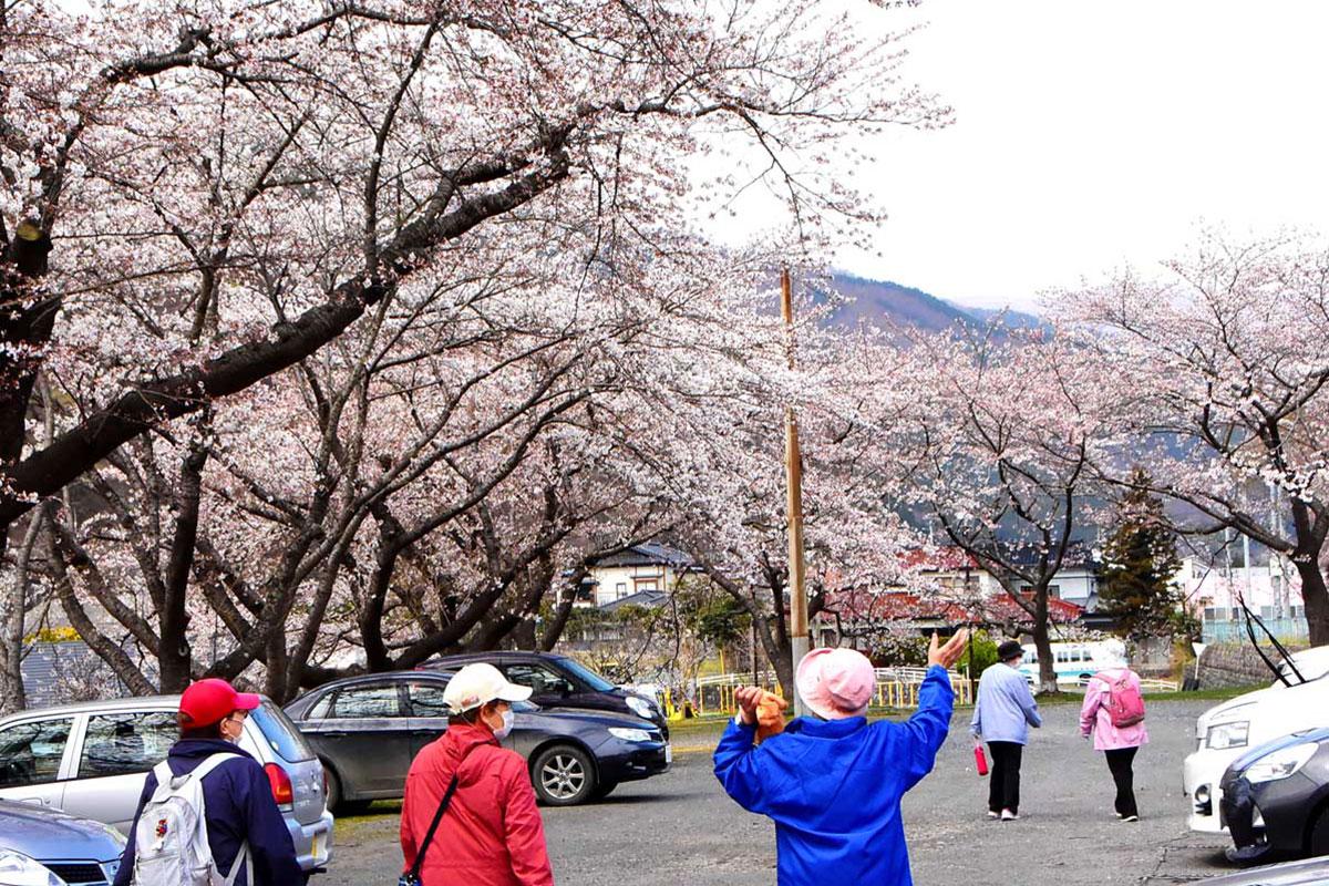 満開の桜の下を散策=11日、桜木町仮設住宅