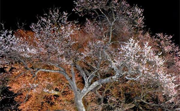 上栗林の桜 ライトアップ〜夜空に巨木映える、地域住民バックアップ