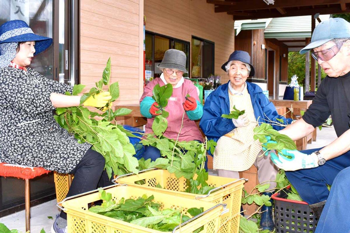 新たな特産品「桑茶」に期待し笑顔で葉の集荷