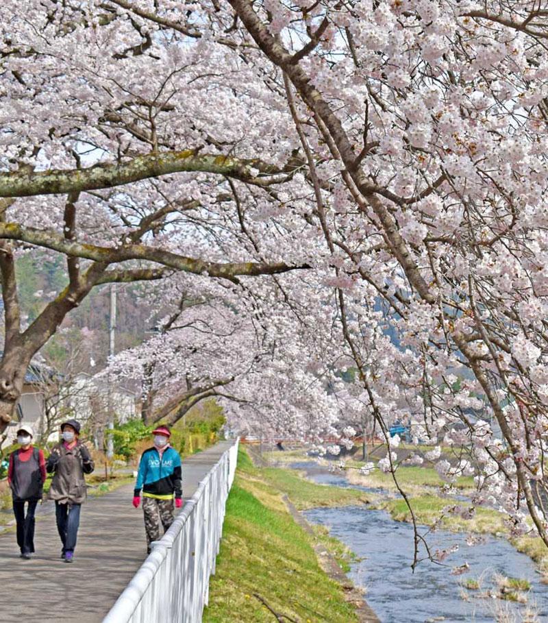 小川川の流れに枝を垂れる桜並木のアーチは格好の散策コース
