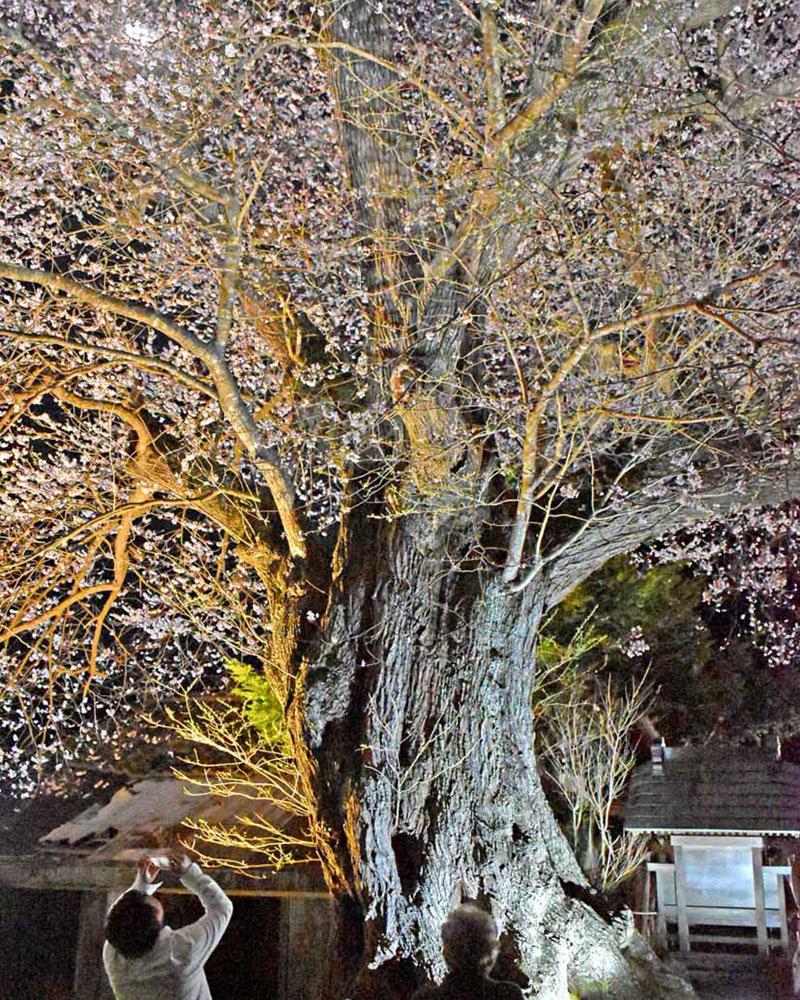 上栗林の桜は明かりをパワーアップしてボリューム満点に=17日夜