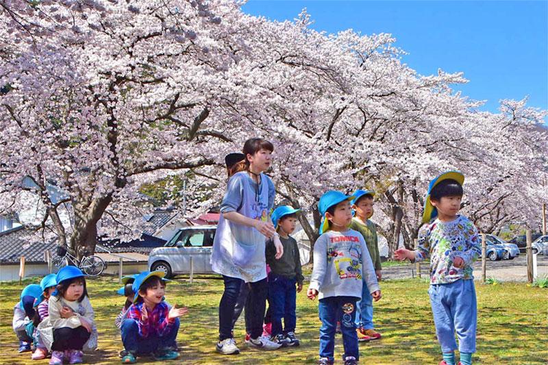 釜石の桜 一気に満開、待望の春を謳歌〜見事な花のアーチ、上栗林の桜ライトアップ