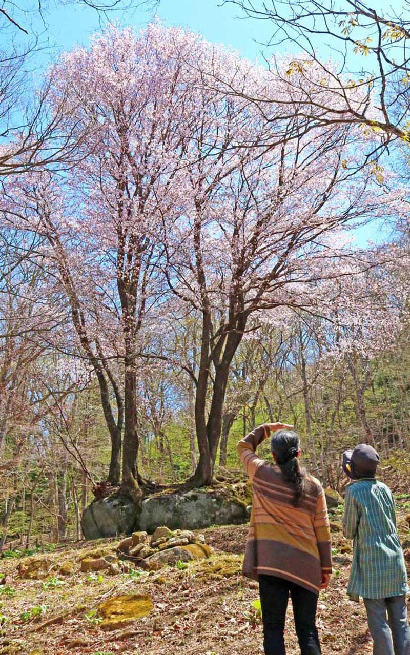 満開となった「石割桜」を眺める観光客