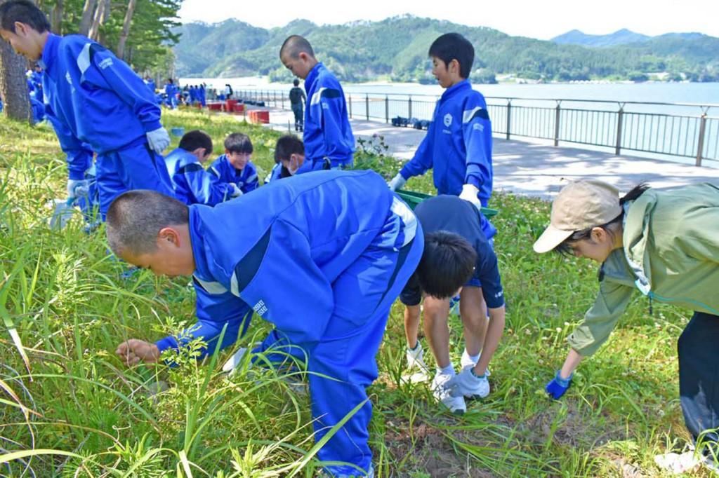 海浜植物の移植地で除草する釜石東中生