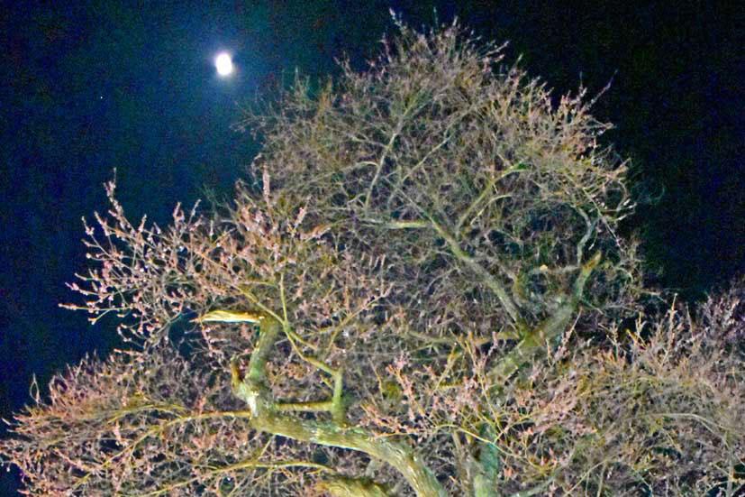 桜の巨木 夜空に映え、栗林町の天然記念物〜光の演出 年々進化、15日ごろまでライトアップ
