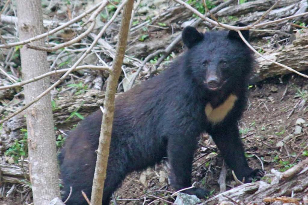 山の王者「クマ」パチリ〜観光ガイドの三浦さん、橋野町で