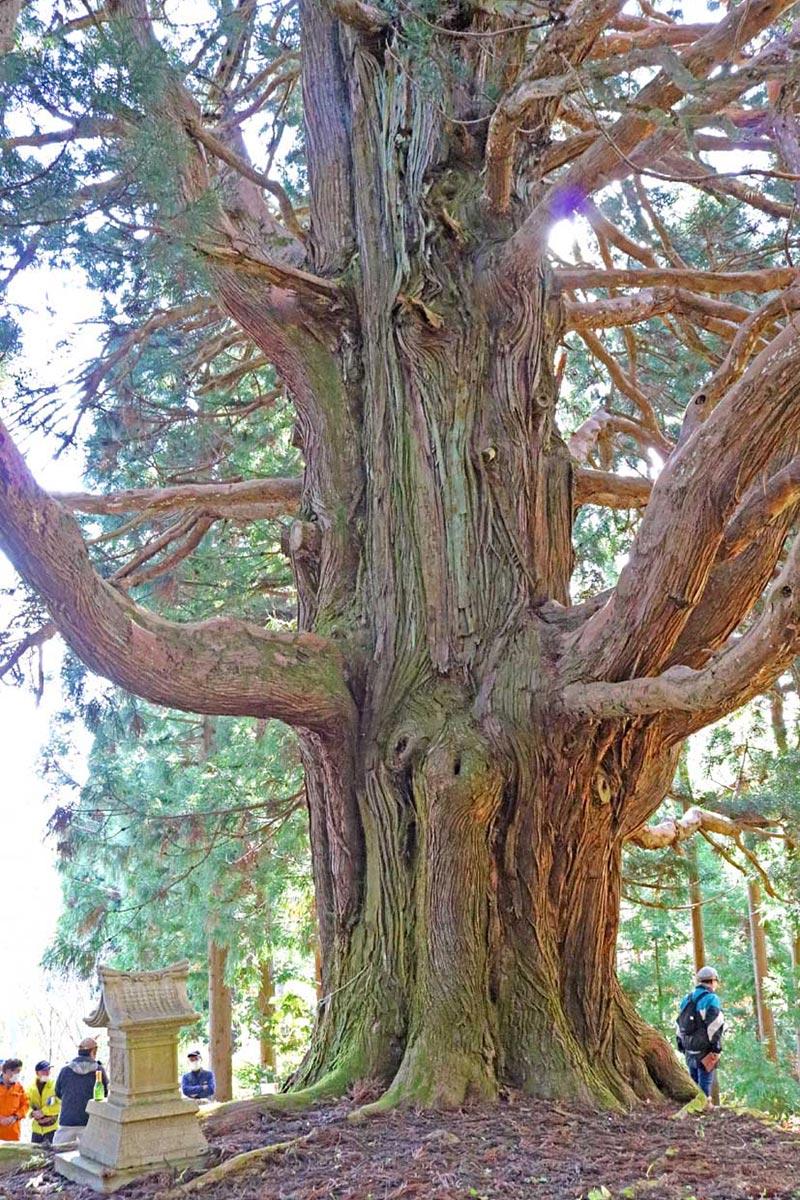 樹勢も良好。堂々とした姿に圧倒される古里の御神楽スギ