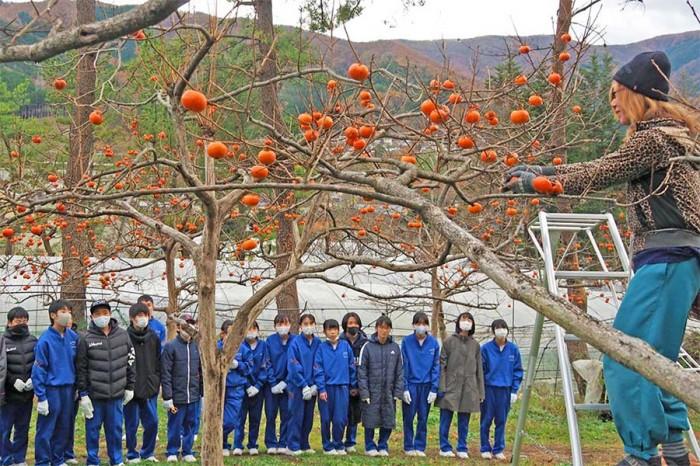 やわらかく不思議な甘さ、甲子中1年生「甲子柿」収穫体験