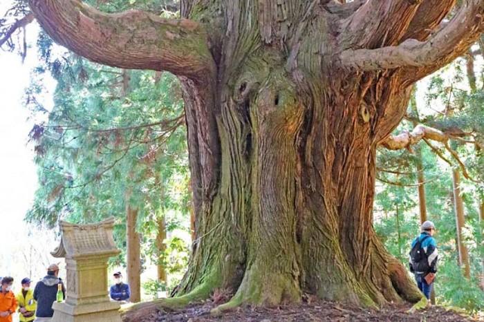 鵜住居川流域の巨木めぐる、地域の宝 保全へ意欲〜「古里の御神楽スギ」絶賛、岩手大学白旗助教