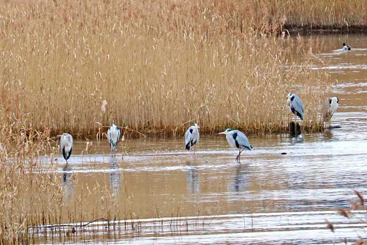 鵜住居川河口近くの浅瀬に集まる「アオサギ」の群れ。観察会では上空を飛ぶ姿も見られた