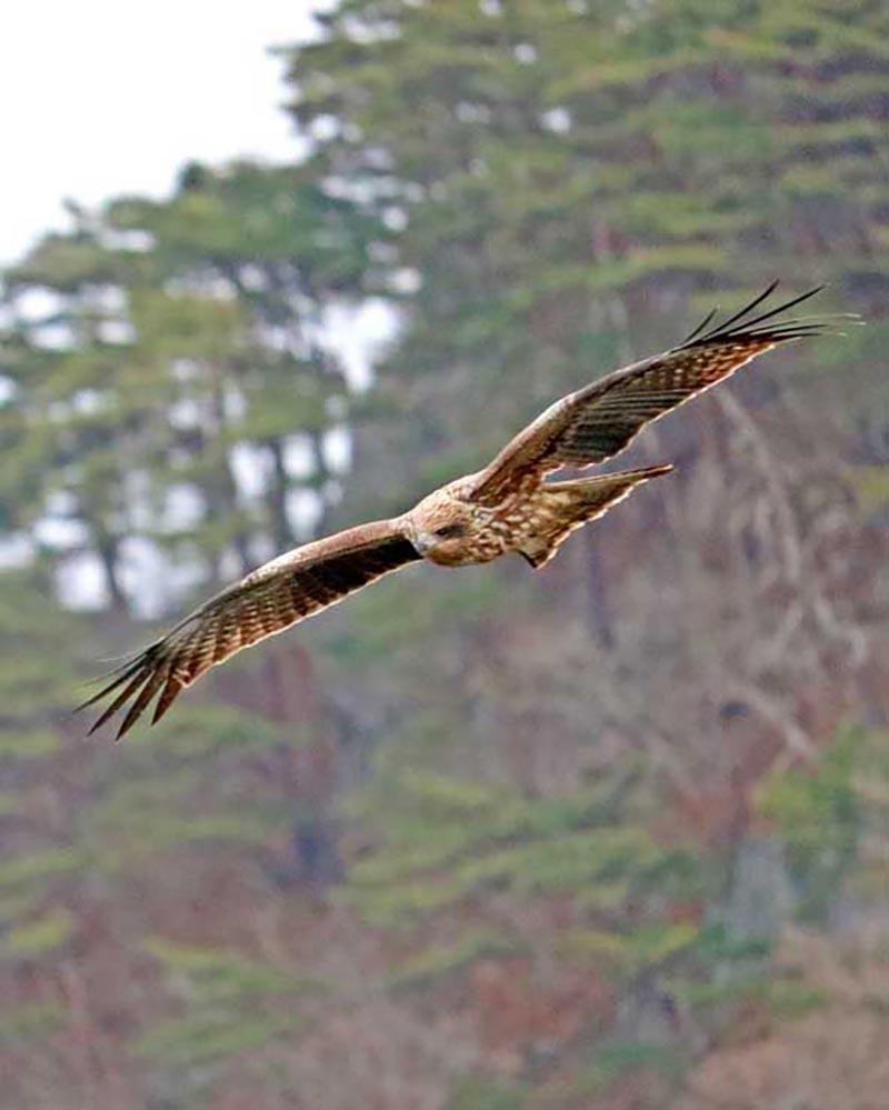 翼を広げ、悠々と飛び回る「トビ」。複数羽が見られた
