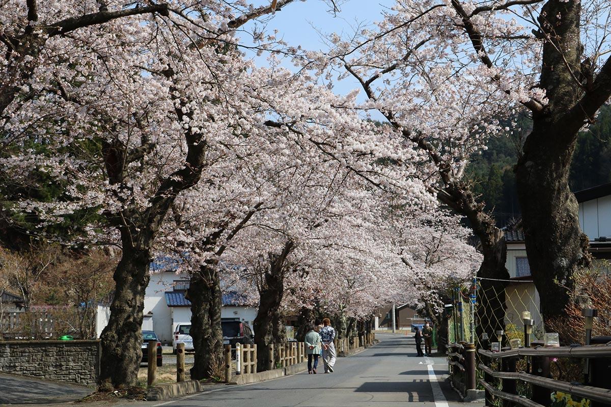 次回の〝大名行列〟が待ち遠しい唐丹町本郷の桜並木