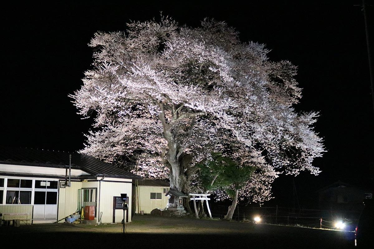 幻想的な光景に感嘆の声~釜石市指定文化財「上栗林のサクラ」恒例のライトアップ
