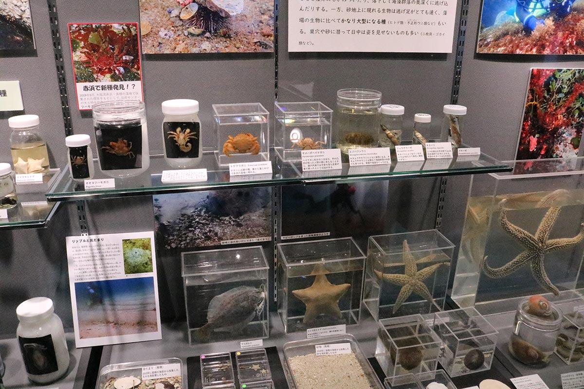 大槌湾の藻場の生物標本が並ぶ企画展示
