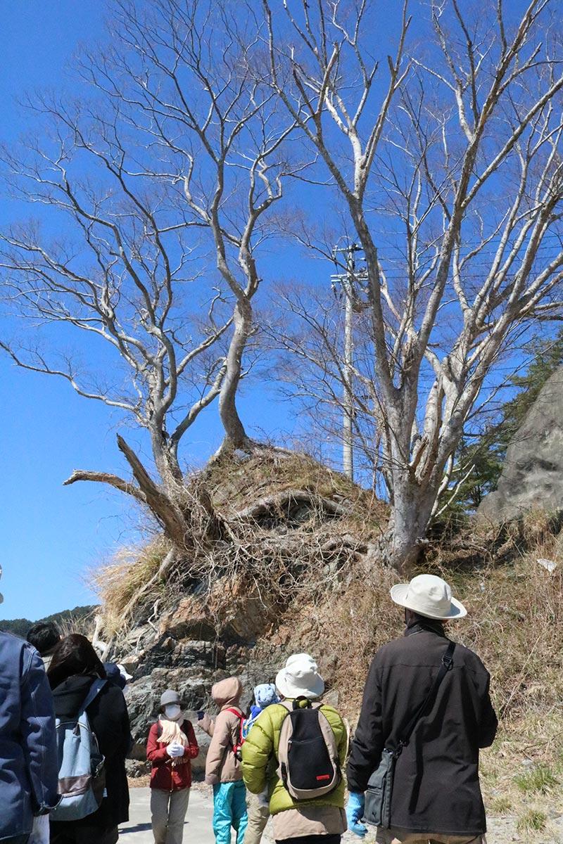 岩を抱えるように根を張るケヤキ=片岸町=