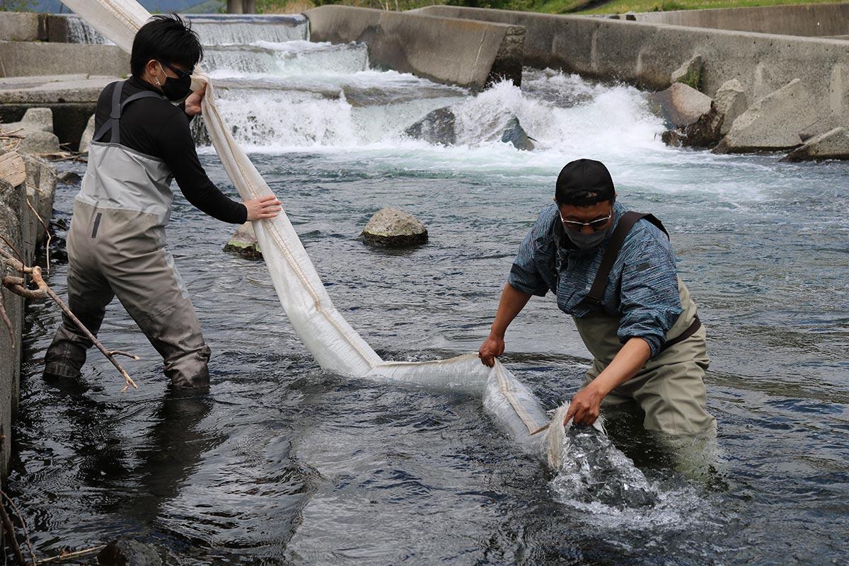 アユの稚魚を放す甲子川鮎釣協力会のメンバー
