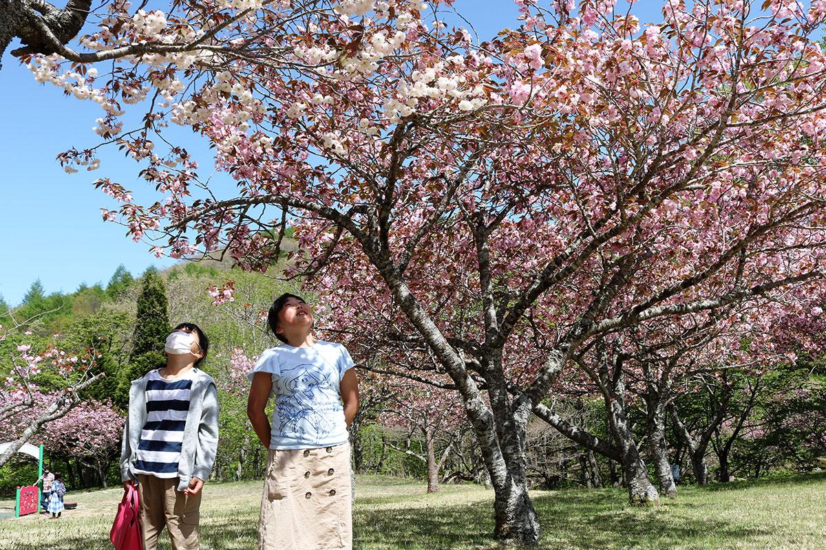 満開の八重桜を見上げ、顔をほころばせる子ども
