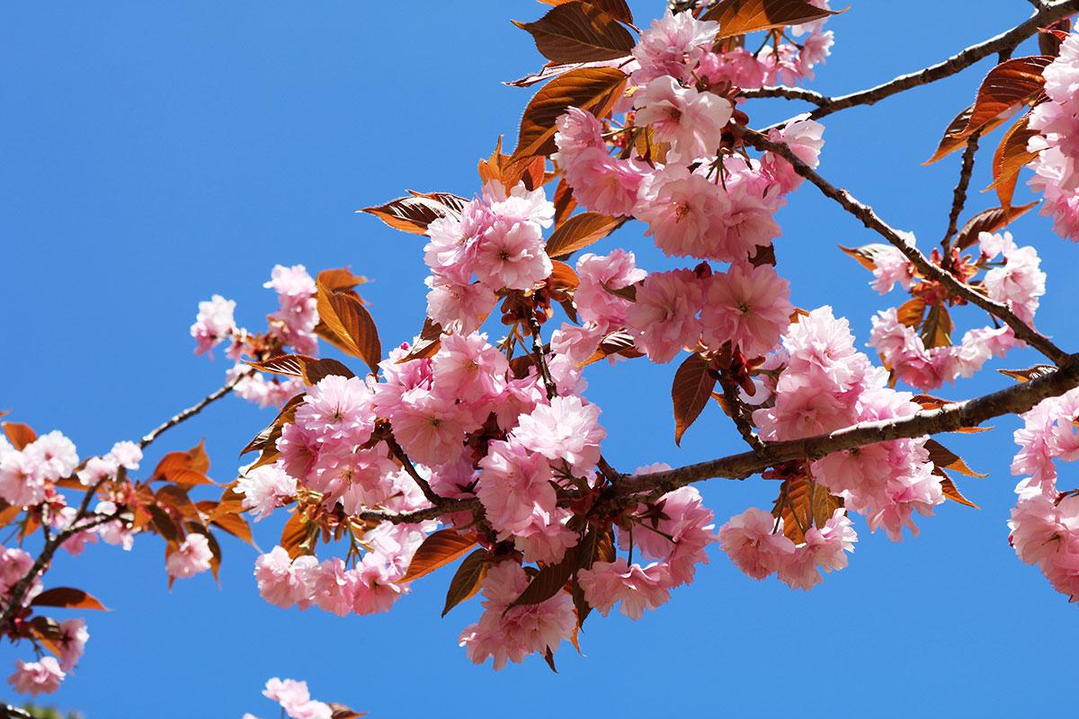 葉が多めながら、濃桃色の花は青空と競演!