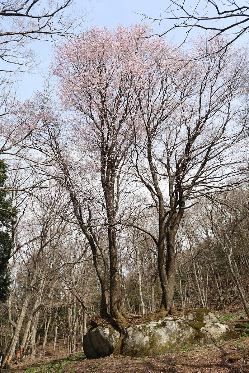 「橋野鉄鉱山」高炉場跡内に自生する〝石割桜〟