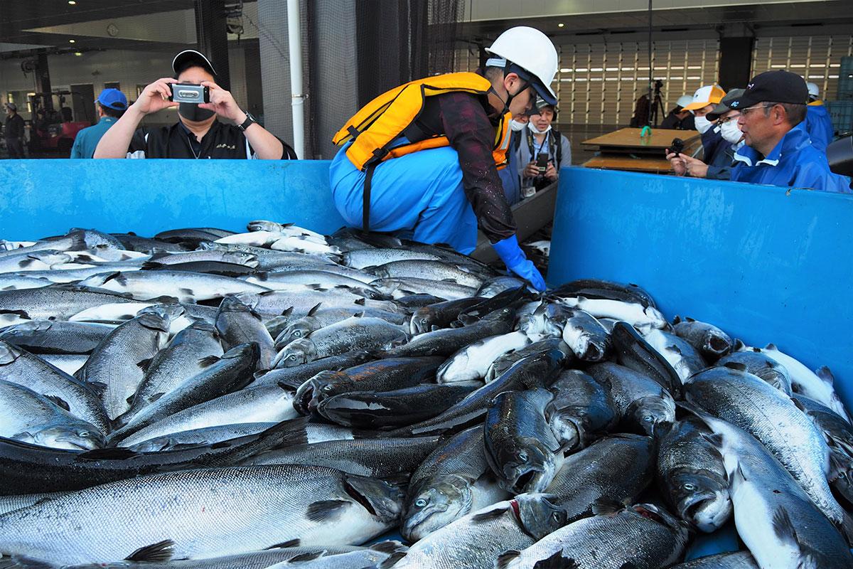 釜石湾で大きく育ち、初めて水揚げされた養殖サクラマス
