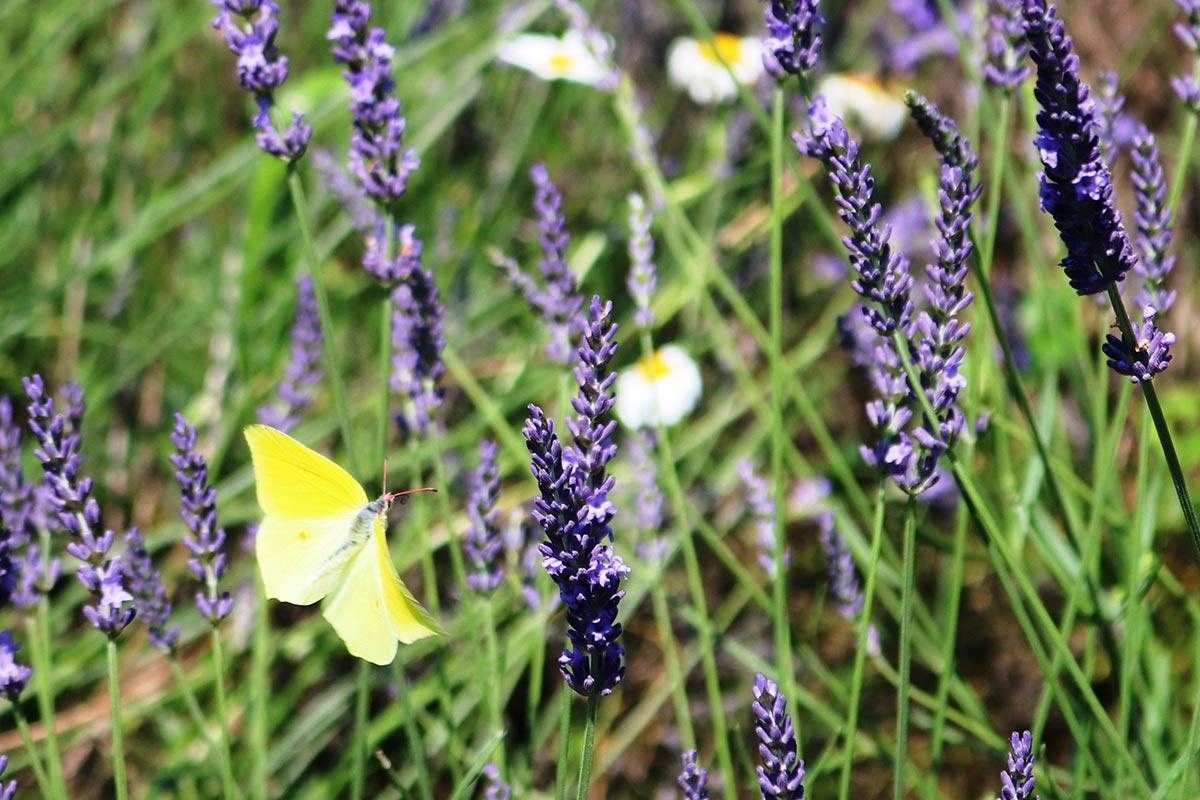 白や黄のチョウも飛び交い、紫の花と競演