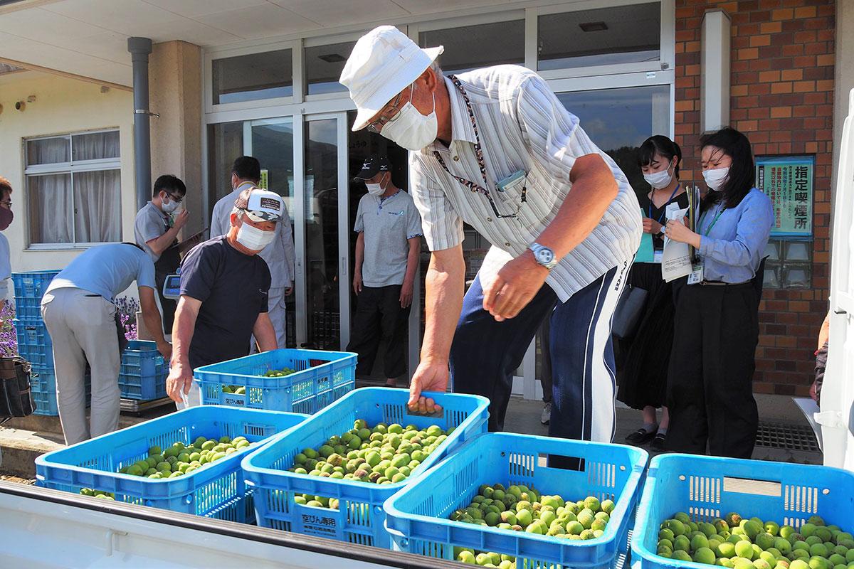 今季2回目となる集荷会に収穫したウメの実を持ち込む生産者ら