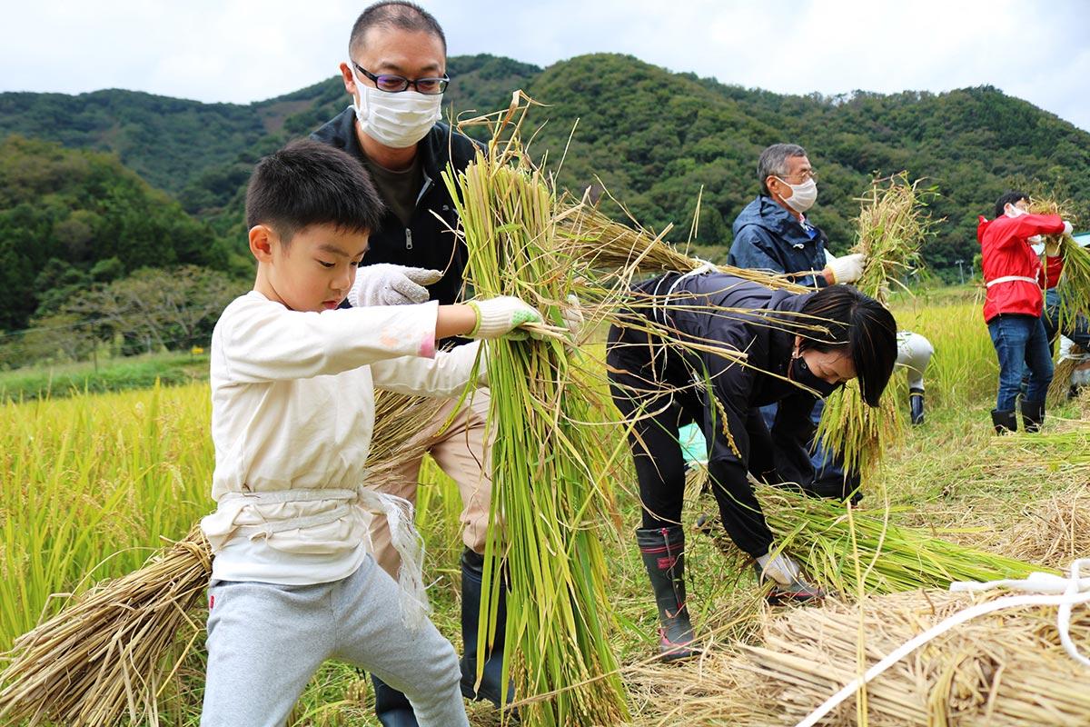稲を束ねる子ども。うまくできるかな?