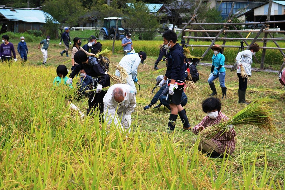 この日は体験塾参加者が春に手植えした約3・5アール分の稲を刈った