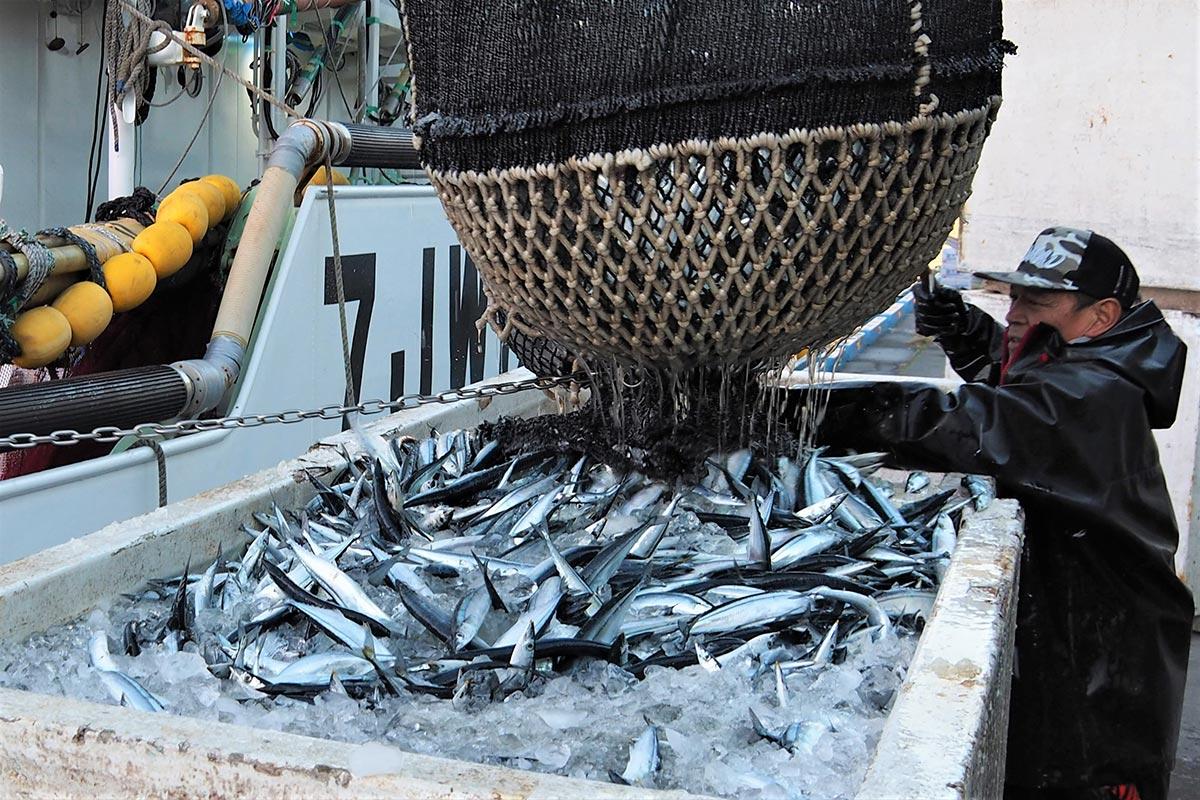 釜石港に今季初水揚げされたサンマ=21午前6時11分